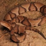 How to Identify a Copperhead Snake?