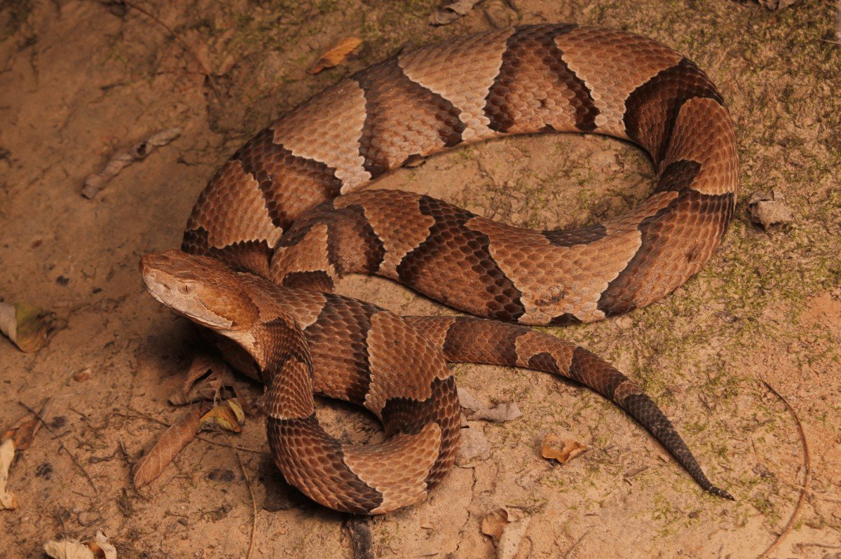 How to identify a copper head snake