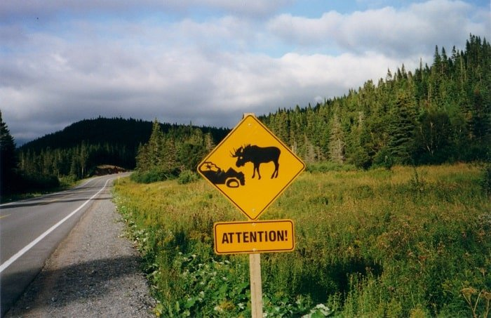Are Moose Dangerous?