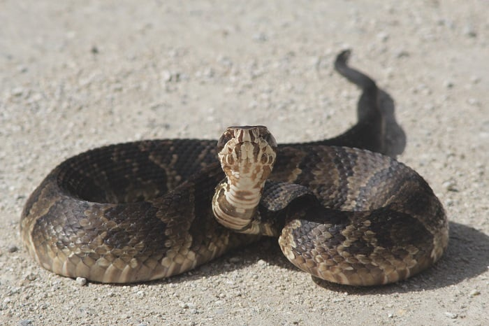 How to identify a water moccasin?