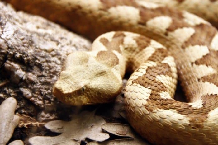 What Is A Water Moccasin Snake